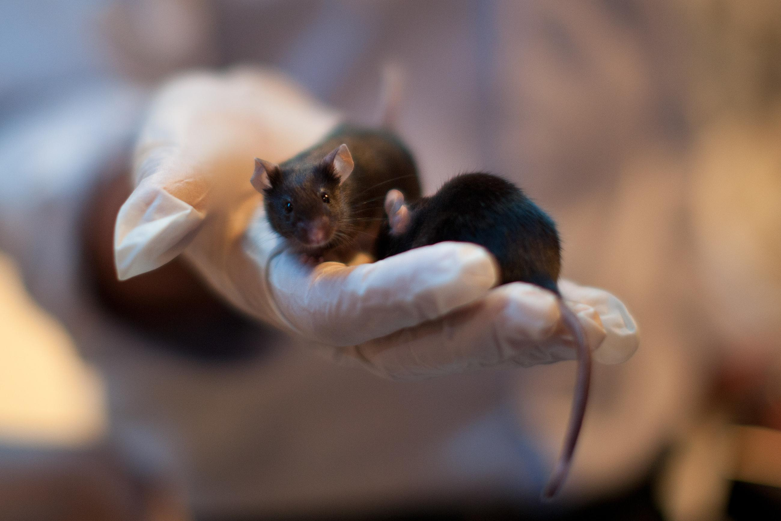 Yes, We're Dropping Thousands of Dead Mice Laced With Tylenol on Guam