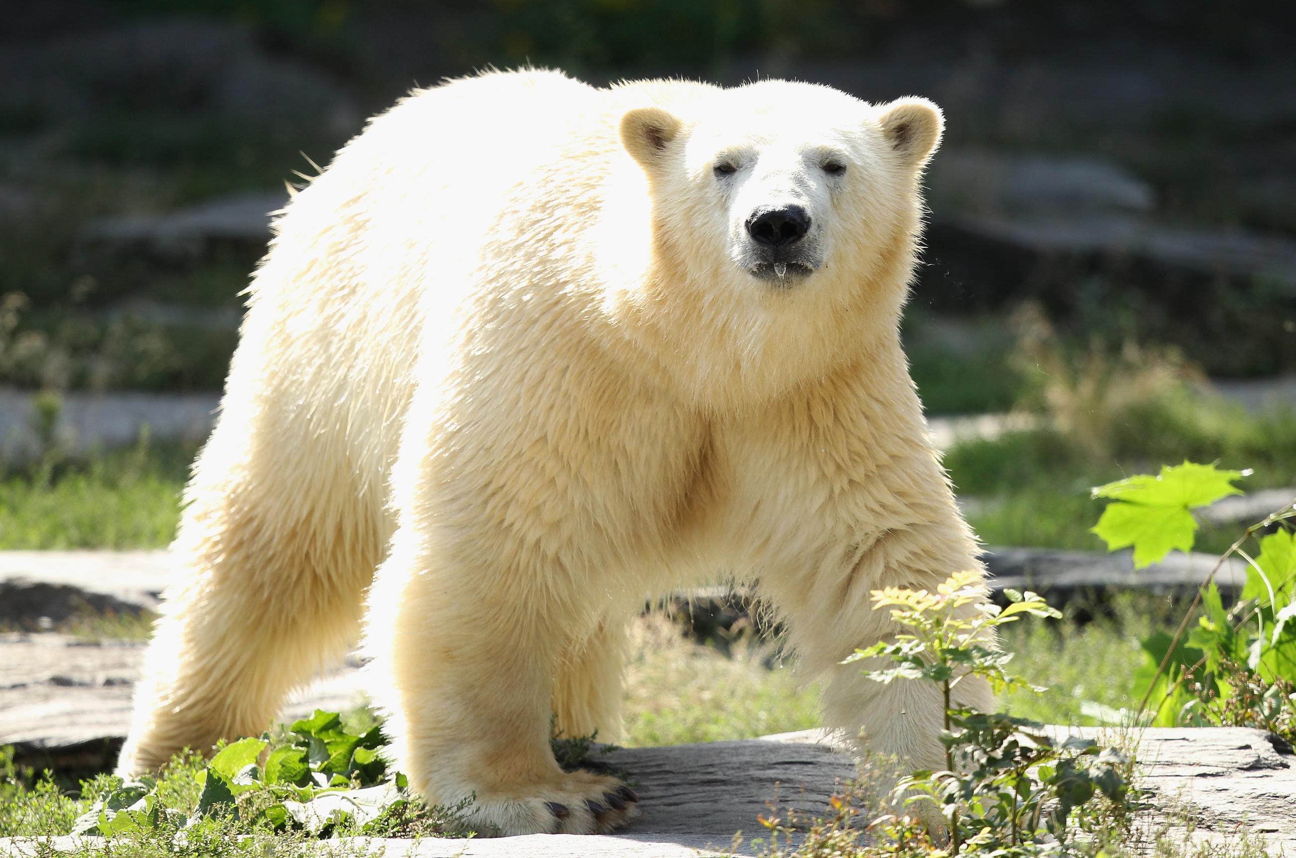Why Canada Is Still Stuck With Our Dead Polar Bears